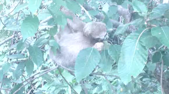Cute Sloth in Costa Rica National Park