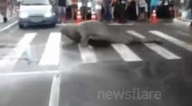 Elephant Seal Waddles Onto Busy Brazil Street