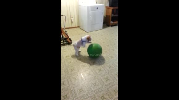Puppy practices basketball dribbling
