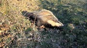 dead badger near cows and calfs dartmoor national park devon