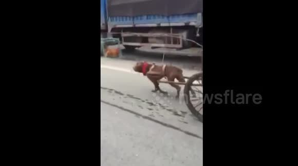 Dog hoodwinked to pull cart with chicken hung in front as decoy