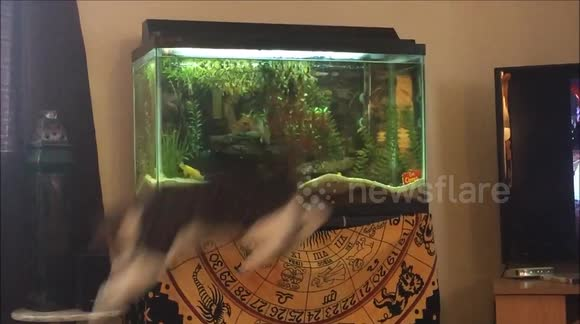 Cat makes hilarious attempt to catch fish in aquarium