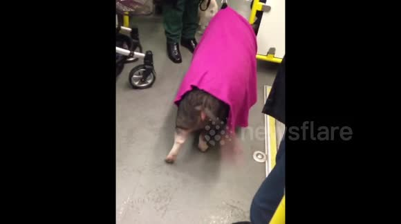 A pig takes the Tube