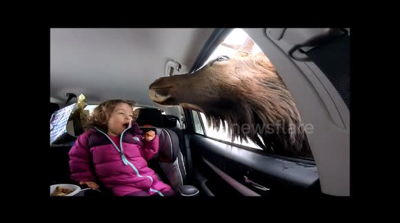 Little girl gets quite excited when large elk sticks its head in the car