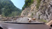 Goats and cows on the road