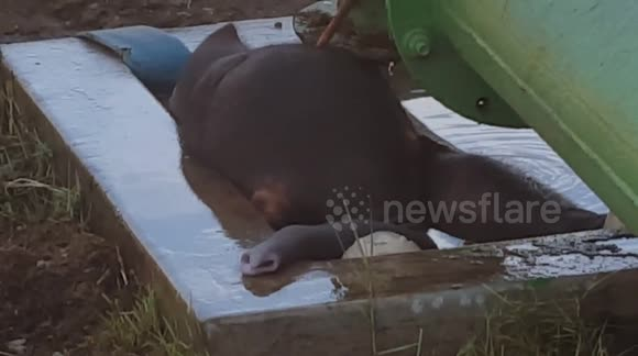 Baby elephant rescued from drowning