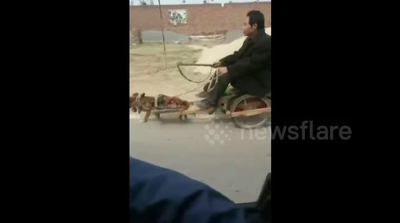 Little dog pulls man in cart