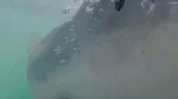 Great white shark tries to attack cage divers