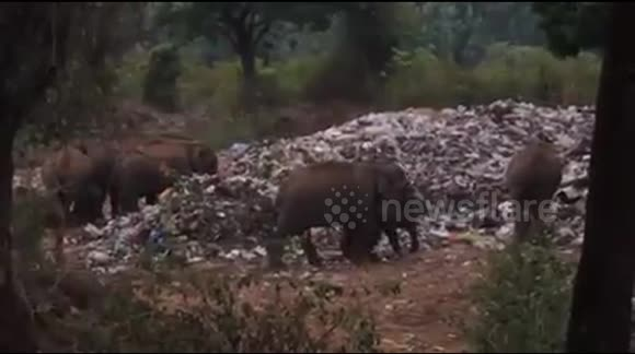 Elephants feeding on plastic waste in India
