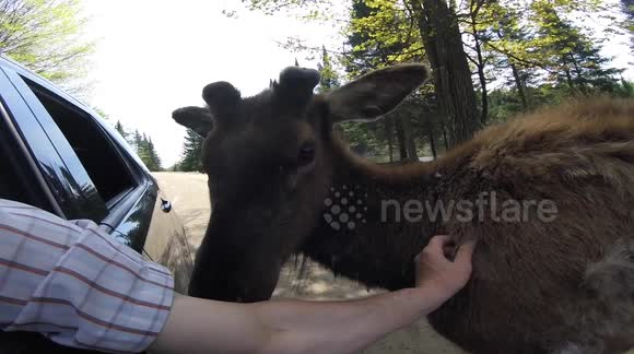 Elk lets man pull his winter coat and asks for more