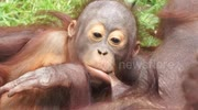 Adorable suckling baby orangutan