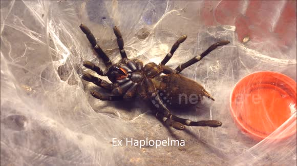 Tarantula molts its skin in creepy time-lapse