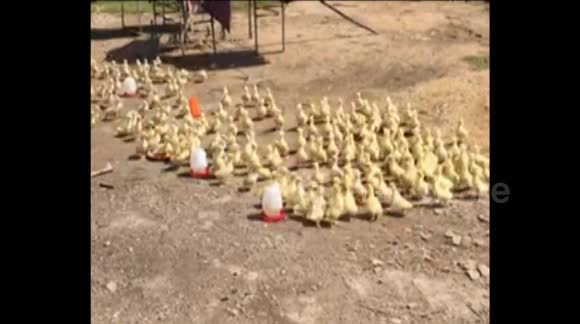 Ducklings appear to 'fall in line when their owner tells them to'