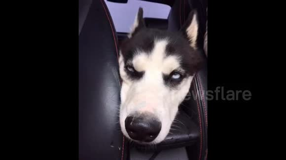 Tired husky rolls its eyes