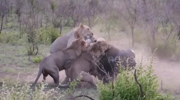 Lions hunt and kill buffalo at national park