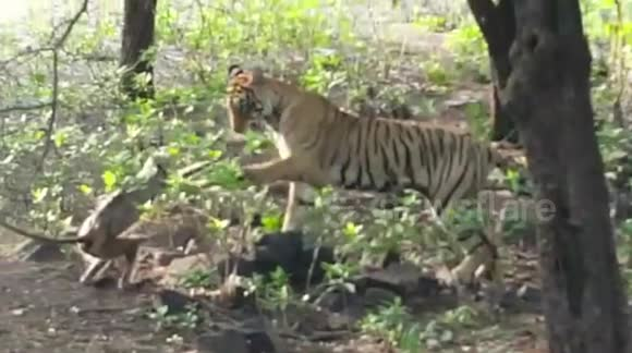 Tiger pounces on monkey only to play with it
