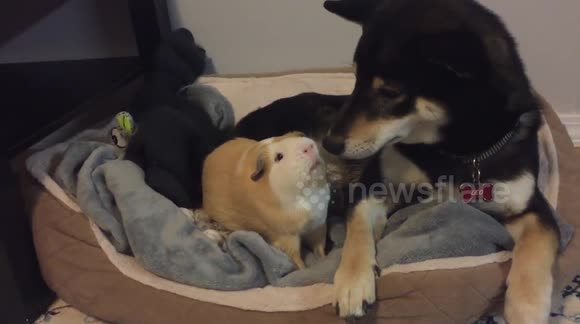 Shiba inu dog and guineapig playing