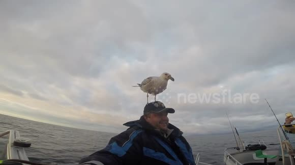 Seagull lands on man's head and stays there