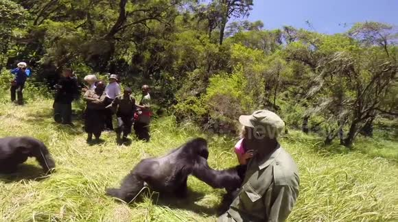 Gorilla knocks woman over on honeymoon safari tour