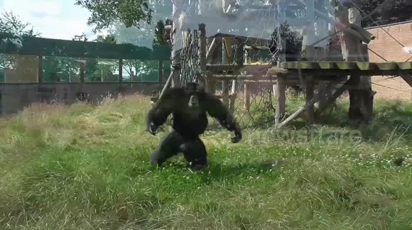 Chimpanzee excitedly parades in enclosure