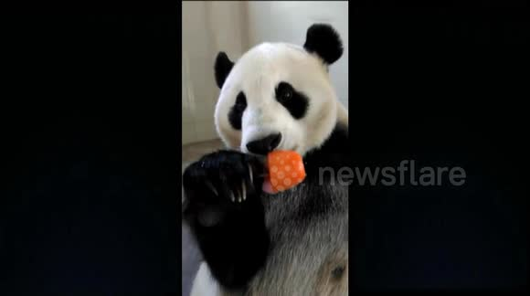 Cute panda eats ice lolly on a hot day