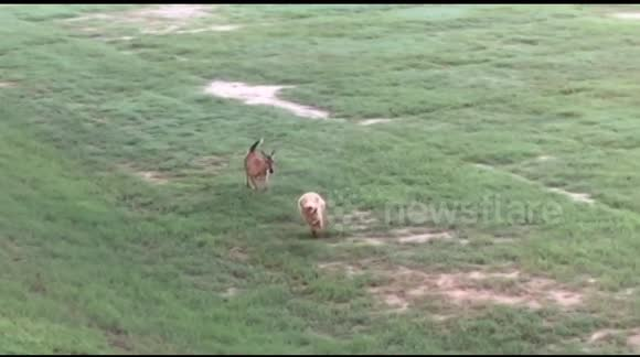 Deer chases dog across park