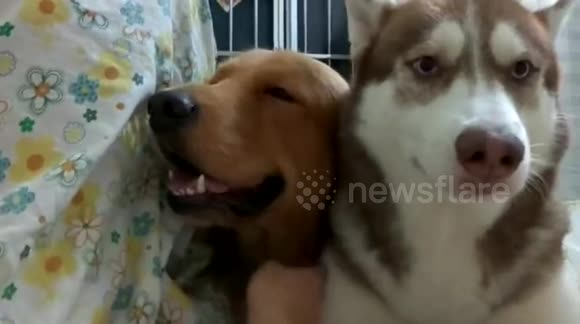Husky gets jealous when owner starts stroking another dog