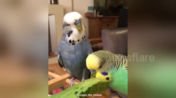 Newsflare Edit - Budgies enjoing some vegetables