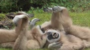 Funny Gibbons in All Arms And Legs