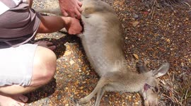 Couple Saves Baby Kangaroo From Dead Mothers Pouch