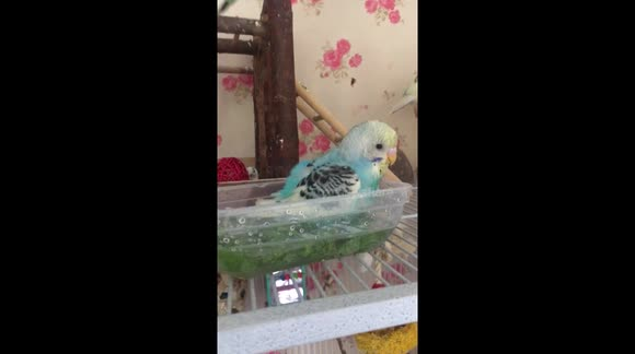 Newsflare - Bubbles the baby budgie taking her first bath in