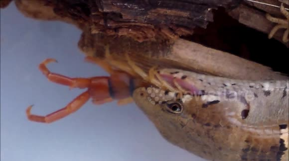 Newsflare - Lizard swallows giant centipede whole