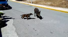 Newsflare - Too cute! Family of wild boar crosses road in