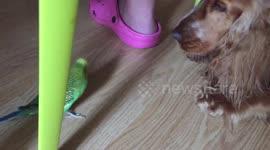 Newsflare - Taming Of A Junk Yard Boerboel Guard Dog