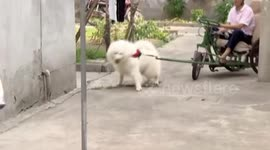 Newsflare - Small Samoyed hangs on owner's arm