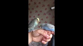 Newsflare - Budgie dad stealing food from his babies mouth