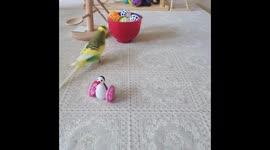 Newsflare - Budgies playing on the floor