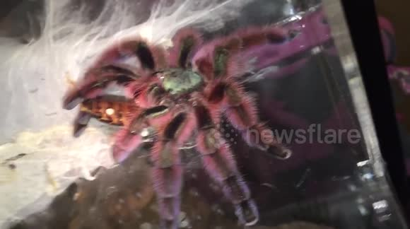 Newsflare - Beautful Antilles Pinktoe Tarantula eating a cockroach