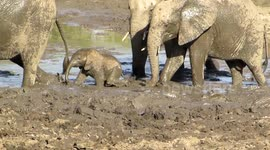 newsflare too cute baby elephant just loves the mud