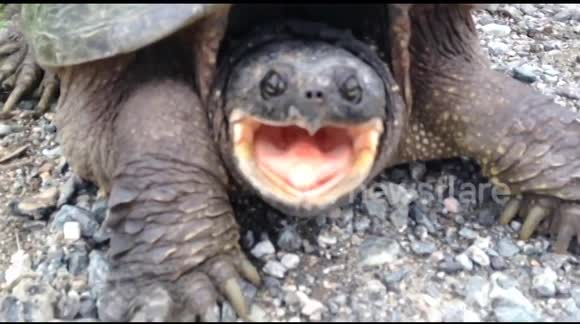 Newsflare - Snapping turtle bites man's hand