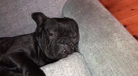 Newsflare - French bulldog snoring extremely loudly