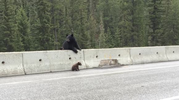 Mama Bear Pulls Cub Off Highway To Safety