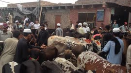 People Buy Cattle For Upcoming Eid Al Adha Festival In Pakistan