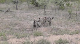 Newsflare - Rare and bizarre, but funny, Spotted Hyena behavior