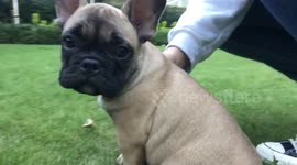 Newsflare Adorable French Bulldog Puppy