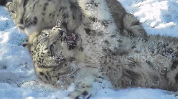 Newsflare - Zoo animals enjoy the UK snow