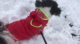 Newsflare Shih Tzu Puppy