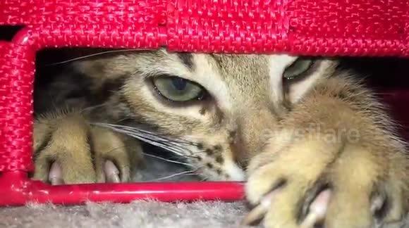 Newsflare - Bengal Cats Look Like Evil Demons!