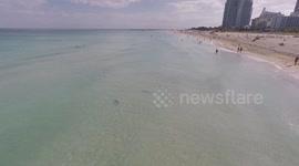 Sharks On Miami Beach