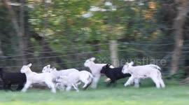 Newsflare - Spring Lambs